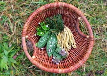 Essbare Wildpflanzen und Kräuter sammeln im Februar