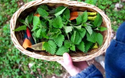 Essbare Wildpflanzen und Kräuter sammeln im März
